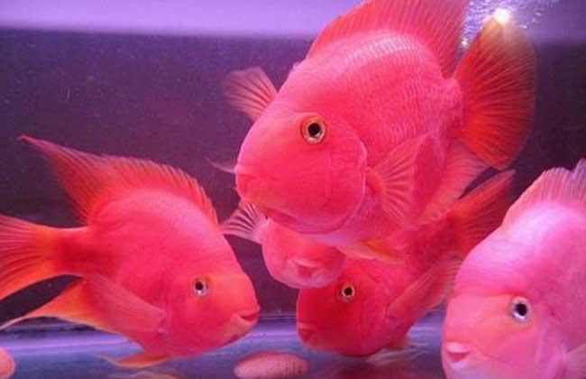 鹦鹉鱼吃什么