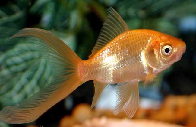 金鱼怎么养