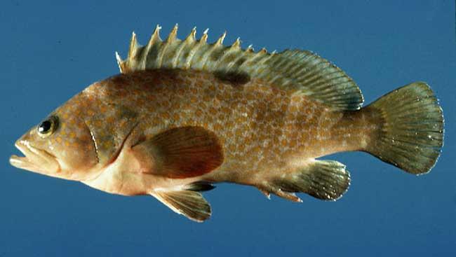 赤点石斑鱼
