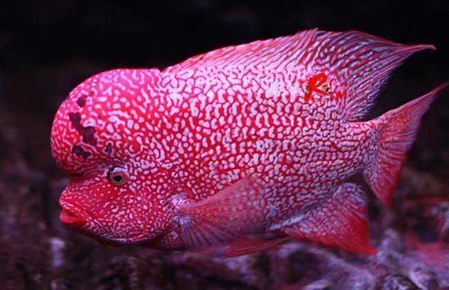 罗汉鱼养殖技术视频