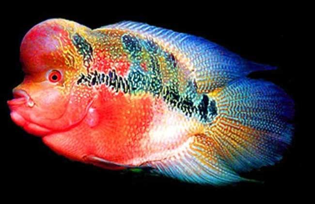 罗汉鱼养殖技术