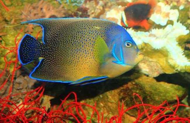 色彩艳丽的鹦鹉鱼怎么养