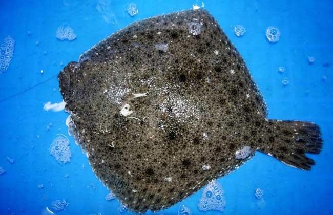 多宝鱼养殖技术