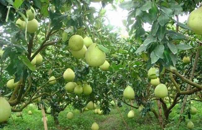 柚子种植环境条件