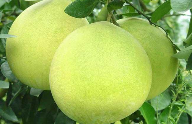 柚子种植技术视频