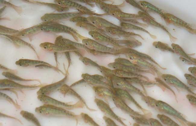 罗非鱼如何才能安全越冬