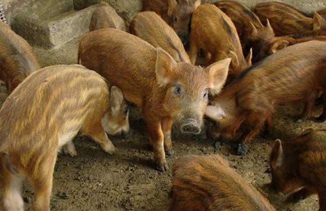 野猪养殖的优势