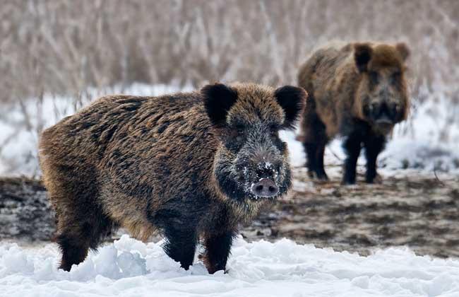适时配种可以提高野猪养殖效益