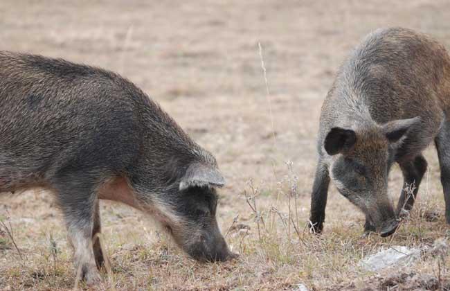 特种野猪养殖常见问题