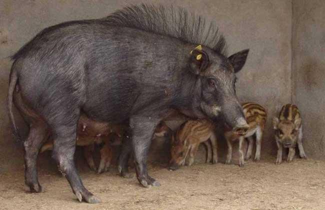野猪的人工饲养方法与技巧
