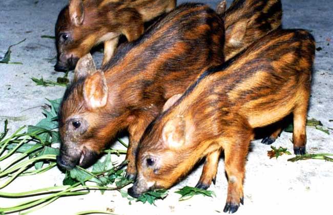 野猪呼吸道疾病的防治措施