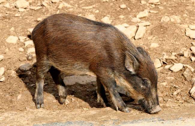 野猪痢疾的防治方法