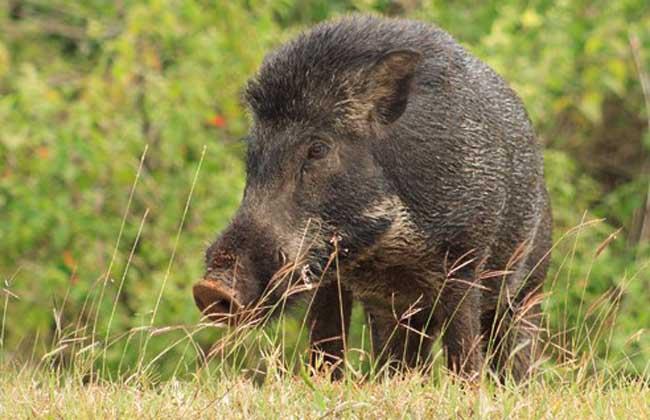 什么是特种野猪