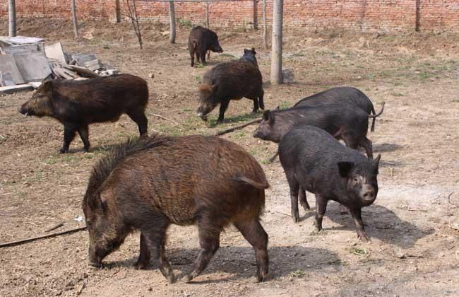特种公野猪不发情的原因及解决方法
