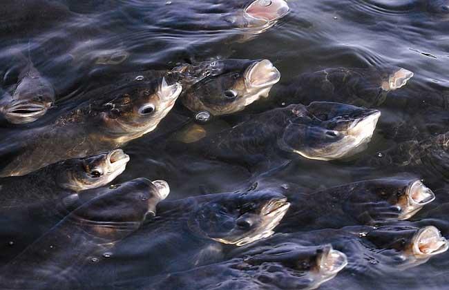 鱼类浮头的几种情况及应对措施
