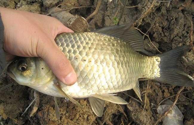 鲫鱼养殖技术
