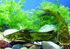 黄颡鱼养殖技术