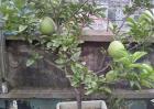 盆栽柚子树的养殖方法