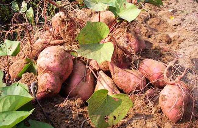红薯饲料的科学使用方法