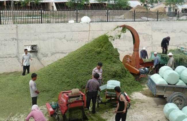种草作为家畜的青绿饲料的技术