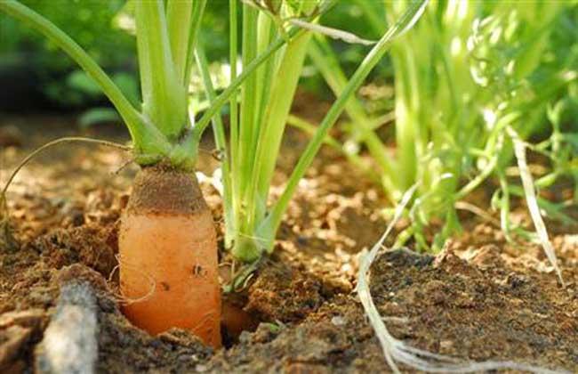 胡萝卜种植技术视频