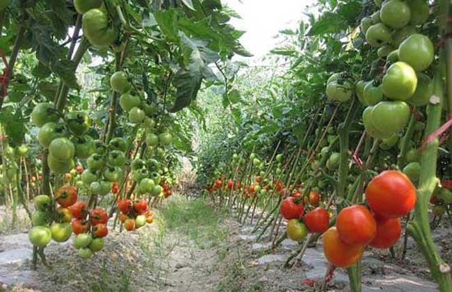 番茄种植技术视频