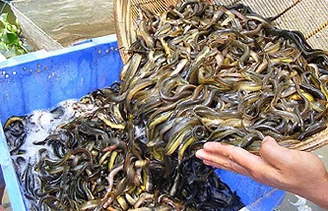 泥鳅养殖技术视频