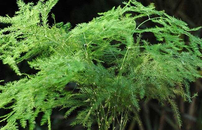 文竹怎么繁殖最好?