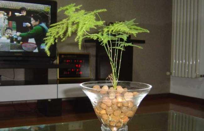 文竹可以水培吗?