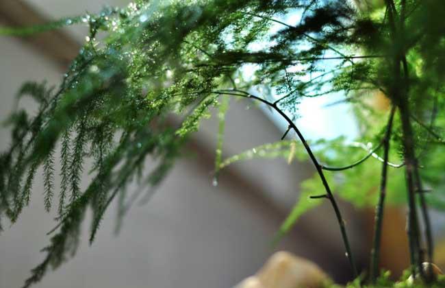 文竹的种子怎么种