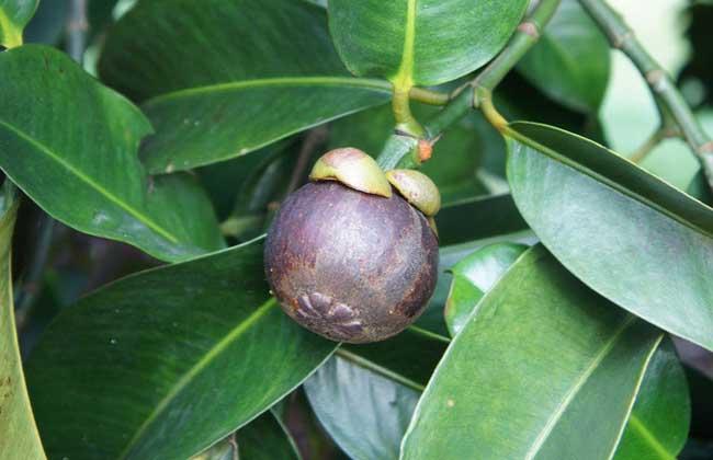 山竹什么季节成熟?