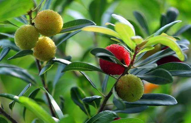 杨梅树种植技术