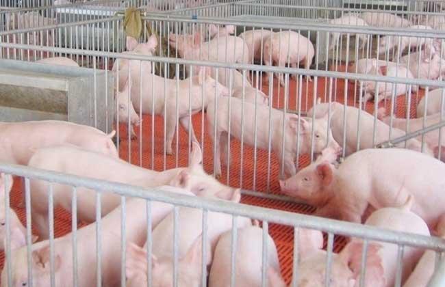 现代化养猪场_养猪场设计图