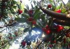 杨梅树种植几年结果?