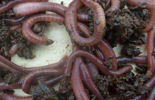 蚯蚓的生活习性 1、夜行动物:蚯蚓属夜行性动物,白昼蛰居泥土洞穴中,夜间外出活动,一般夏秋季晚上8点到次日凌晨4点左右出外活动,采食和交配都是在暗色情况下进行的,喜欢安静的周围环境。生活工矿周围的蚯蚓多生长不好或逃逸。蚯蚓尽管世界性分布,但喜欢比较高的温度,低于8即停止生长发育,繁殖最适温度为22~26。 2、杂食动物:蚯蚓是杂食性动物,除了玻璃、塑胶和橡胶不吃,其余如腐植质、动物粪便、土壤细菌、真菌等以及这些物质的分解产物都吃。味觉灵敏,喜甜食和酸味,厌苦味,喜欢热化细软的饲料,对动物性食物尤为贪