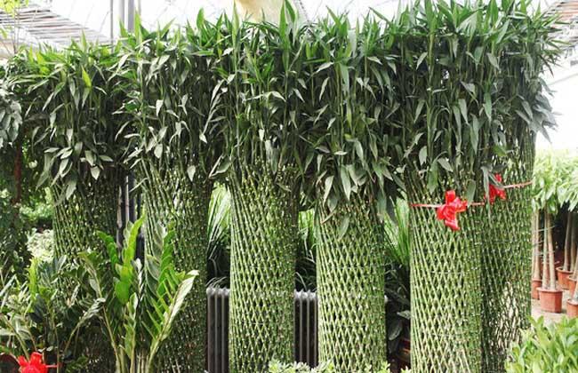富贵竹笼的养殖方法和注意事项