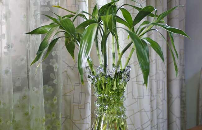 富贵竹有毒吗?