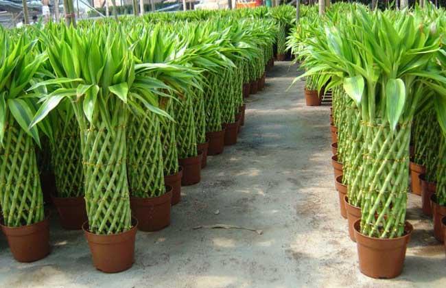 富贵竹有毒吗