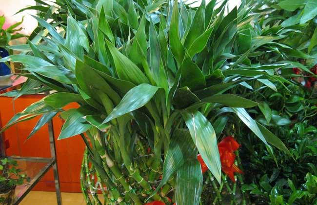 富贵竹养殖的注意事项
