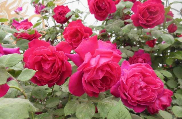 盆栽月季花怎么养