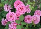 盆栽月季花怎么养?