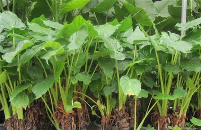 水培滴水观音的养殖方法