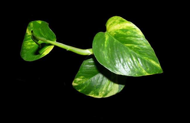 绿萝的繁殖方法