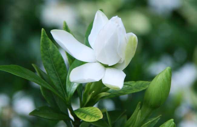 盆栽栀子花怎么养?
