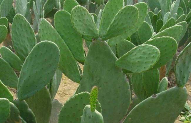 食用仙人掌栽培技术