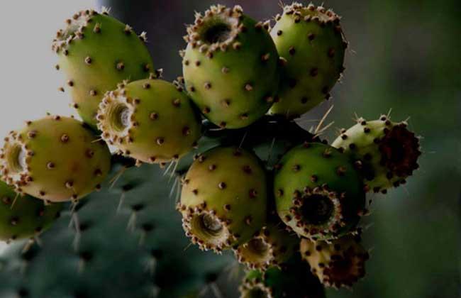 仙人掌的果实能吃吗