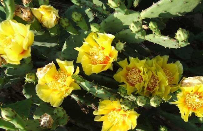 仙人掌的花语和传说