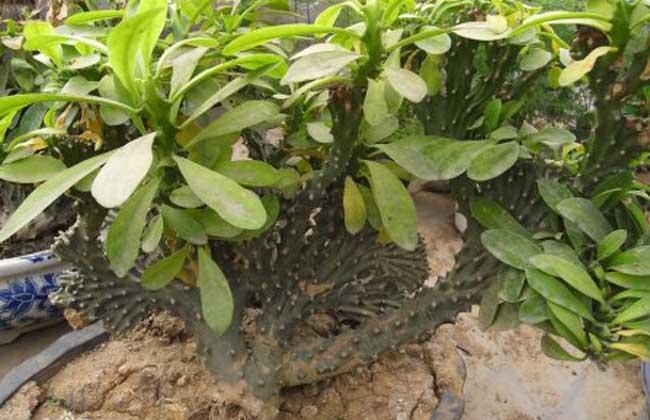叶型森林性仙人掌类