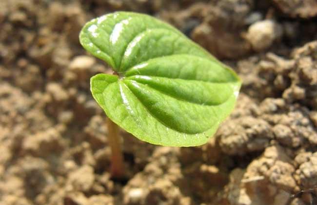 山药种植技术视频