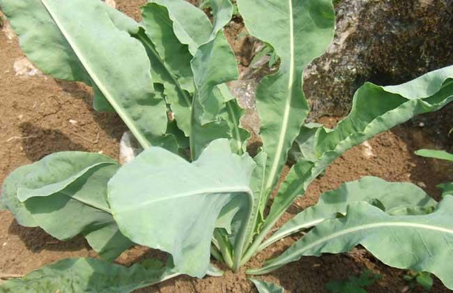 板蓝根种子怎么种?